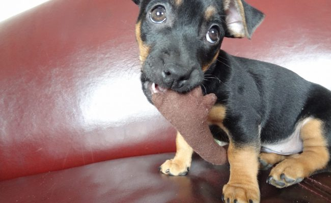 pup-dexter